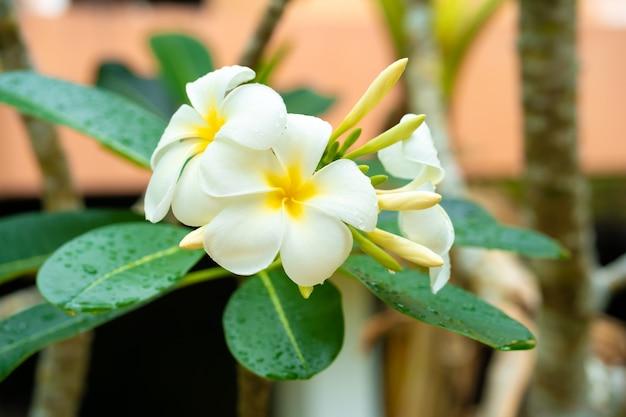 Tropische blume frangipani, die draußen wächst
