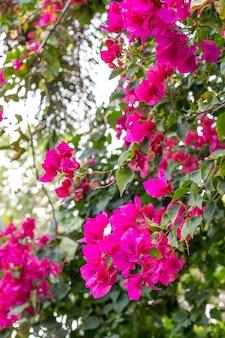 Tropische bougainvillea-blumen auf zweigen in thailand-gärten