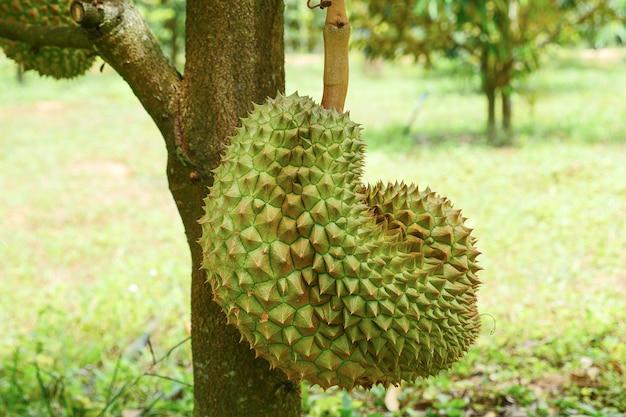 Tropische durianfrucht auf durianbaumpflanze im garten