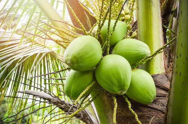 Tropische frucht des jungen kokosnussbaums / der frischen grünen kokosnusspalme auf anlage in der gartenfrucht