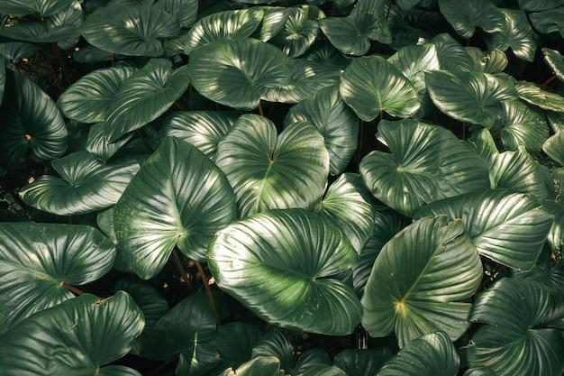 Tropische grünblätter in der natur. zurückhaltender beleuchtungs-naturhintergrund.