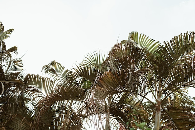 Tropische grüne kokospalmen des sommers gegen weißen himmel. minimal isoliert mit warmen vintage- und retro-farben