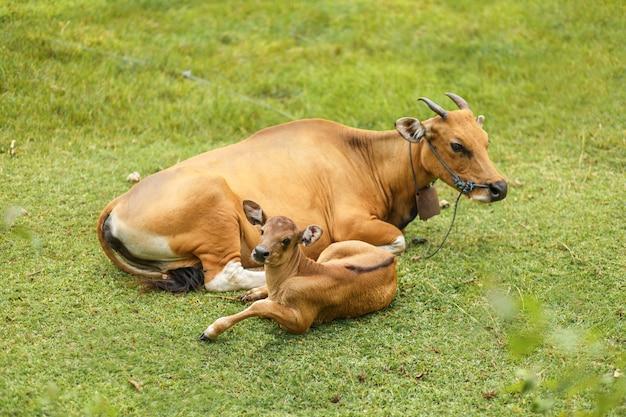 Tropische helle asiatische kuh mit einem kinderstillstehen, das auf einer grünen wiese liegt.