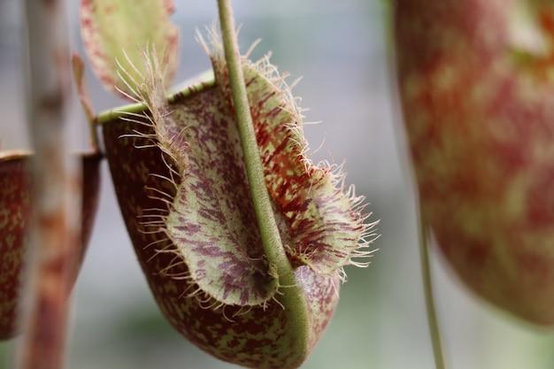 Tropische kannenpflanzen