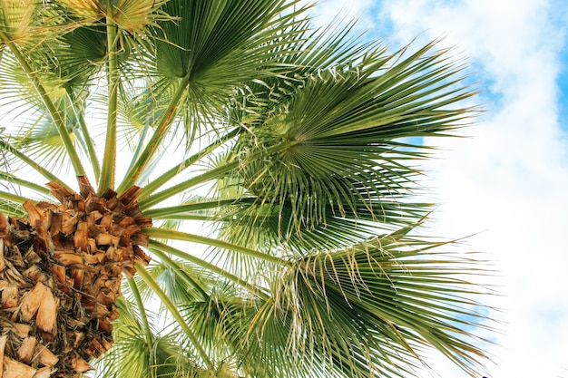 Tropische kokosnuss-palme auf blauem himmel