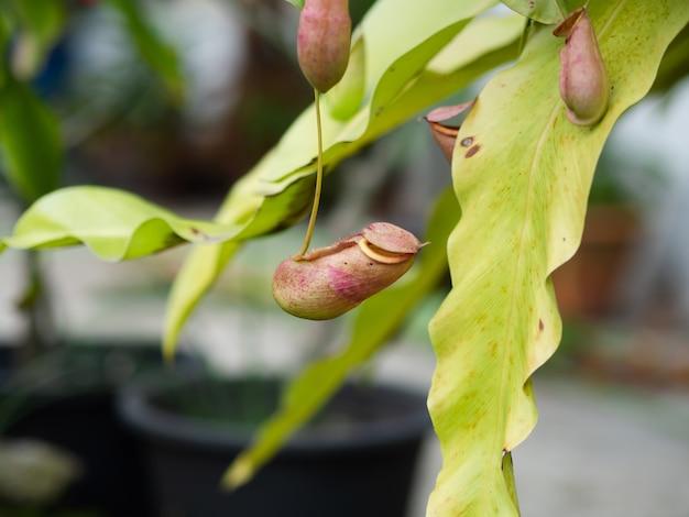 Tropische krug oder monkey cups pflanzen.