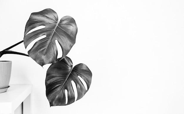 Tropische monsterpflanze in einem blumentopf auf einem tisch gegen eine weiße wand mit einem kopienraum, schwarzweiss-foto