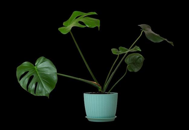 Tropische monsterpflanze mit grünen blättern in einem blumentopf lokalisiert auf einer schwarzen wand