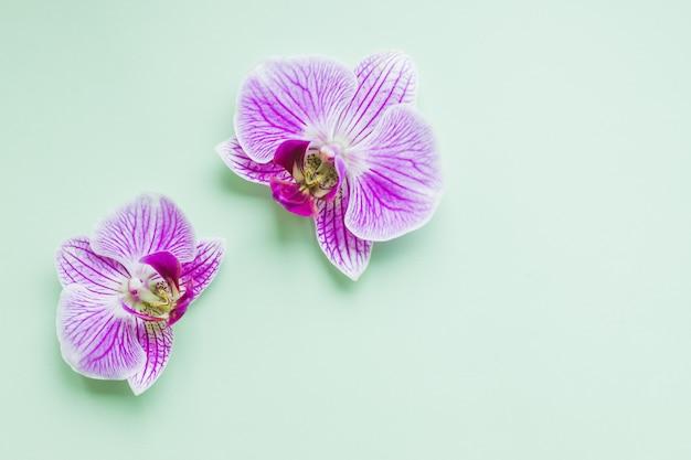 Tropische orchideenblumen auf grüner weicher wand. flache lage, draufsicht. blüht flache lage zusammensetzung. phalaenopsis orchideenblüten. rosa orchidee. feiertag, frauentag, 8. märz blumenkarte flache lage