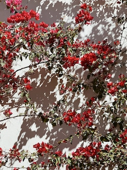 Tropische pflanze mit roten blüten an beige wand. sonnenlichtschatten an der wand