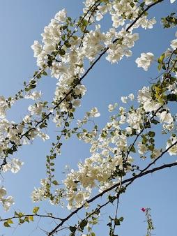 Tropische pflanze mit weißen blüten am blauen himmel