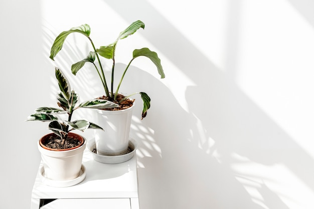Tropische pflanzen an einer weißen wand mit fensterschatten