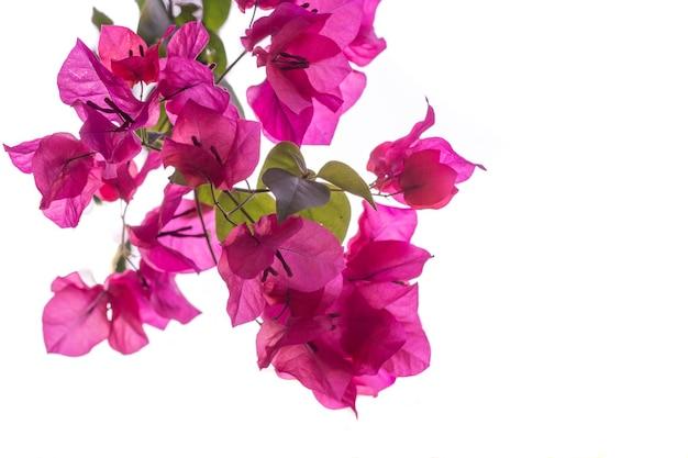 Tropische rosa bougainvillea-blumen auf weißem hintergrund