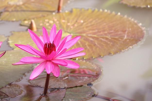 Tropische rosa lotosblume