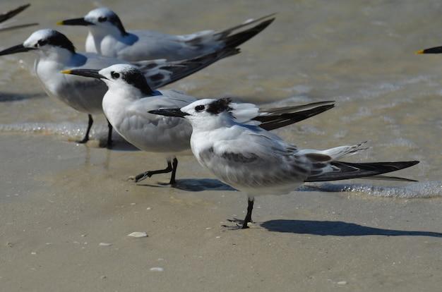 Tropische seeschwalben stehen im seichten wasser am strand von naples florida.