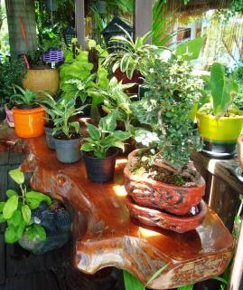 Tropische topfpflanzen