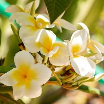 Tropische weiße blumen der nahaufnahme