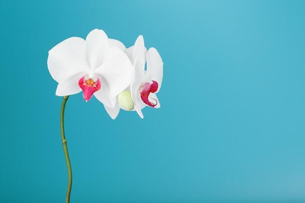 Tropische weiße orchidee auf einem blauen hintergrund. freier speicherplatz, copy-space