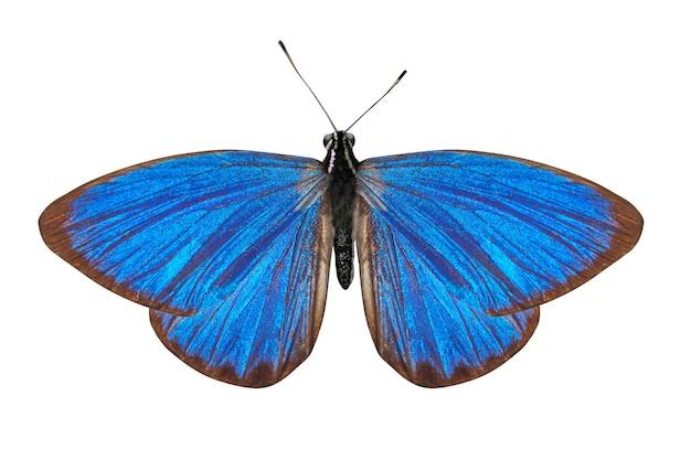 Tropischer blauer schmetterling lokalisiert auf weiß