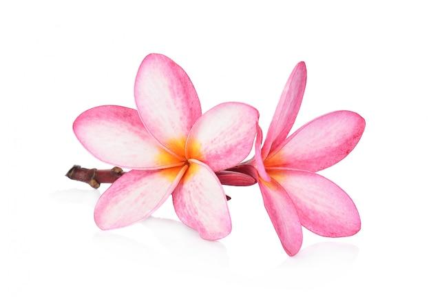 Tropischer blumen frangipani (plumeria) lokalisiert auf weißem hintergrund