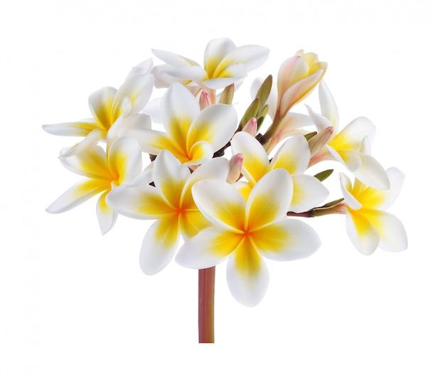 Tropischer blumenfrangipani (plumeria) lokalisiert auf weißem hintergrund