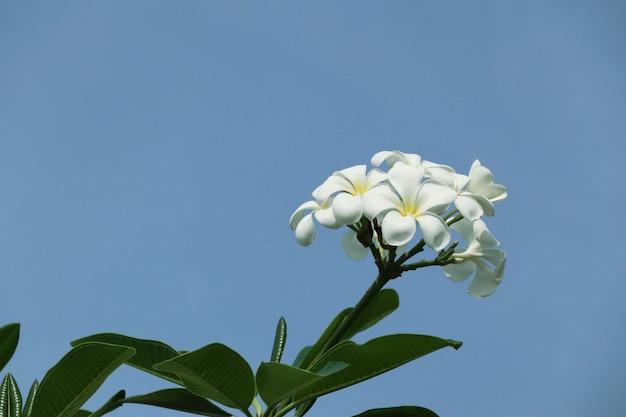 Tropischer blumenweißer frangipani
