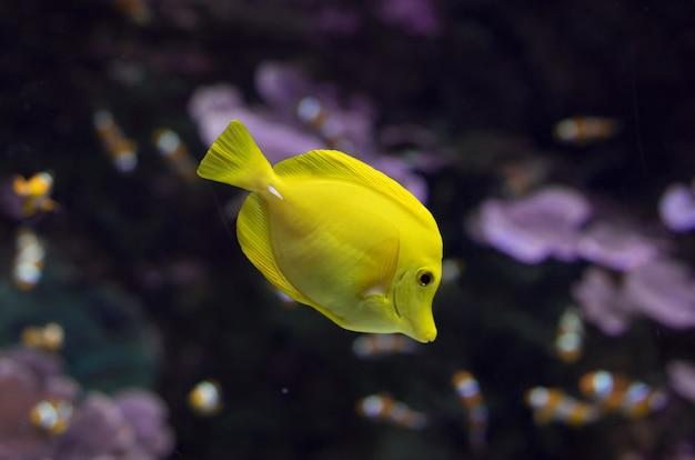 Tropischer fisch des gelben geruches