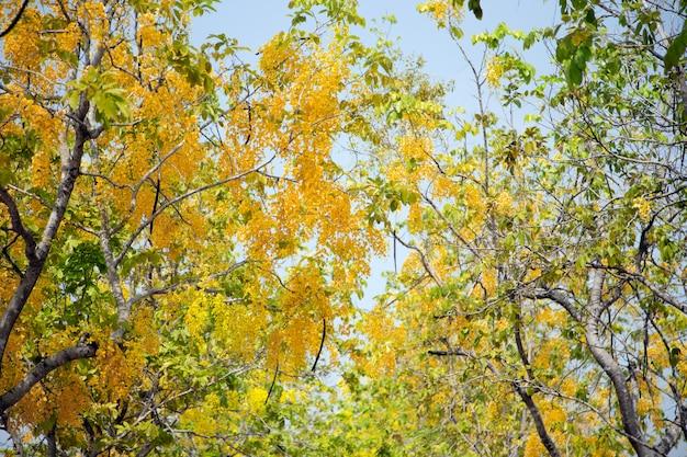 Tropischer gelber blumenbaum der kassie im herbst