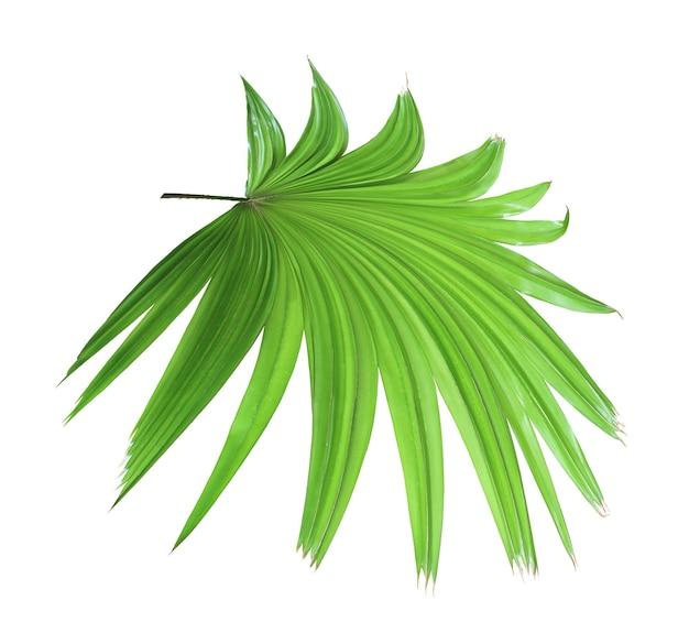 Tropischer grüner chinesischer palmblattbaum der windmühle lokalisiert auf weißem hintergrund