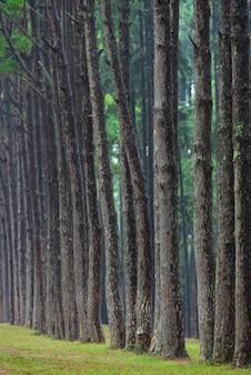 Tropischer kiefernwald in thailand