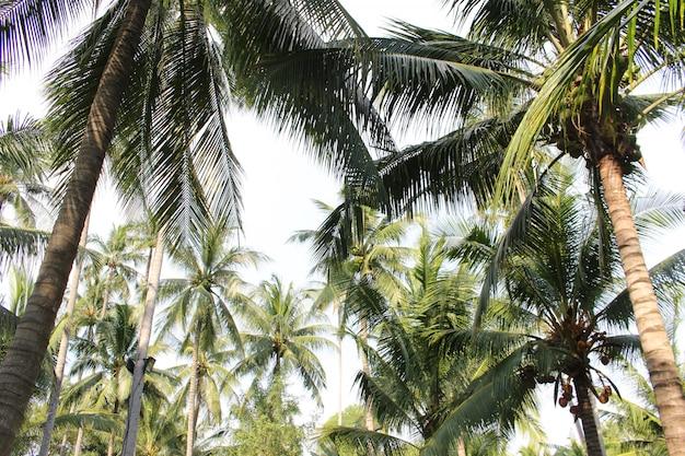 Tropischer kokosnusspalme verlässt baum für sommerhintergrund