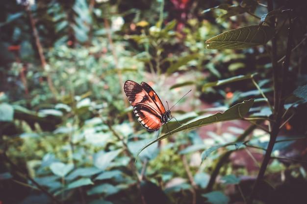Tropischer monarchfalter auf einem blatt im regenwald.