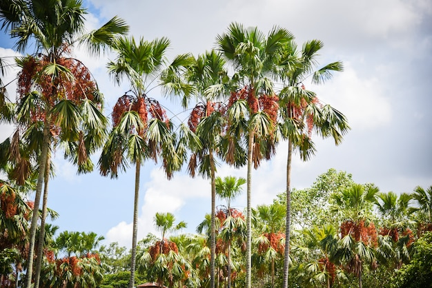 Tropischer palmengarten im park mit palmenfrucht auf dem baumwachsen und -himmel