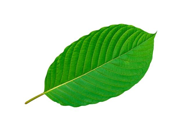 Tropisches grünes blatt lokalisiert auf weißem hintergrund, häuschenblätter, blatt vom natürlichen tropischen wald