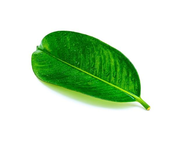 Tropisches grünes blatt mit tropfenwasser lokalisiert auf weißer oberfläche, blatt vom natürlichen tropischen wald Premium Fotos