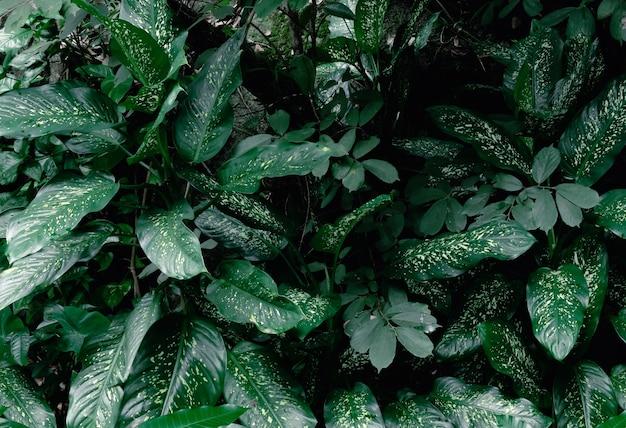Tropisches grünes blattlaub stummer rohrpflanzendschungel (dieffenbachia maculata) im regenwaldhintergrund, dunkler ton