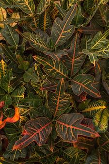 Tropisches mehrfarbiges blattmuster der codiaeumanlage