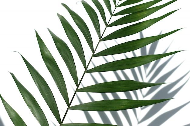 Tropisches palmeblatt auf einem weißen hintergrund