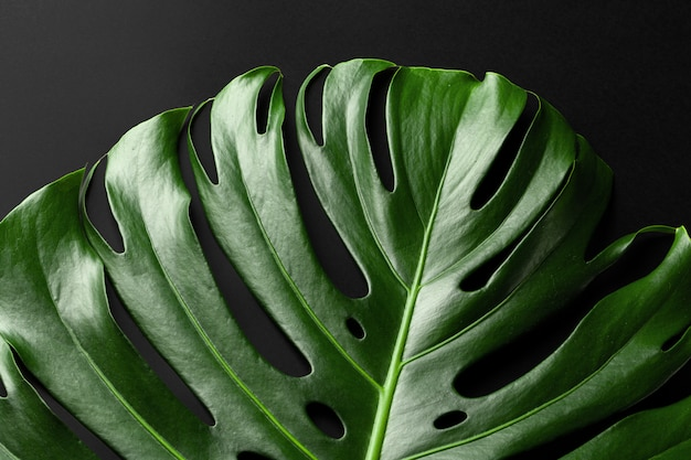 Tropisches pflanzenblatt monstera auf schwarzem hintergrund