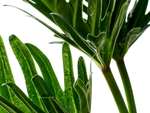 Tropisches philodendron xanadu blatt des aquarells