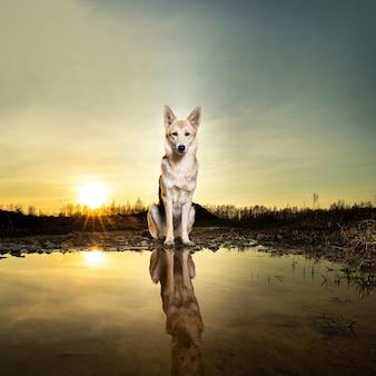 Tschechoslowakischer wolfshund, der in der nähe einer wasserpfütze gegen einen bewölkten sonnenuntergangshimmel in der natur sitzt