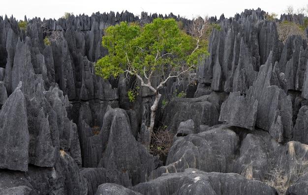 Tsingy de bemaraha. typische landschaft mit baum. madagaskar.