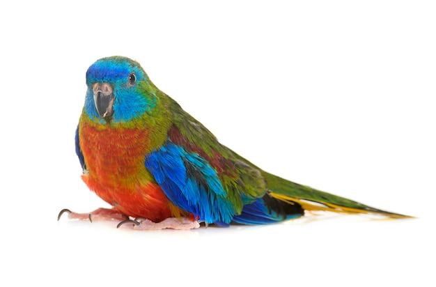 Türkis papagei isoliert