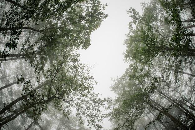 Türspionsfoto von unterhalb des grünen dünnen waldes der hohen baumstämme bedeckt mit einem weißen nebel