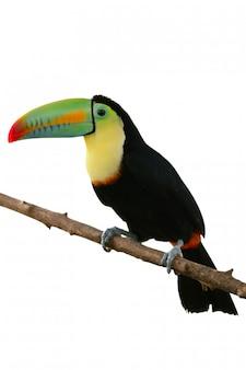 Tukanvogel bunt auf weiß