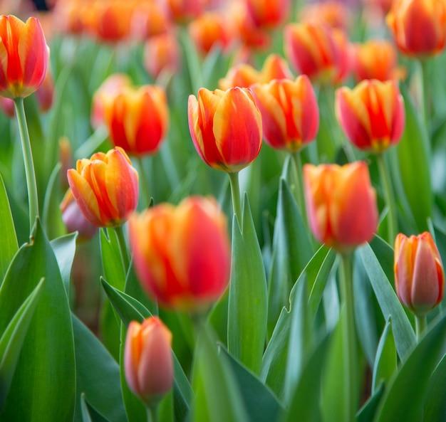 Tulpe-blume