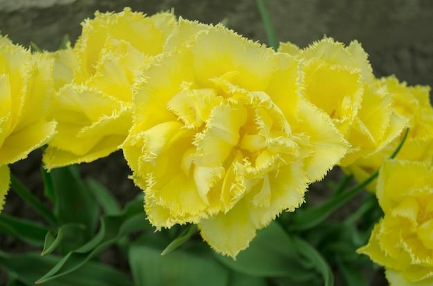 Tulpe exotische sonne. gelbe tulpe mit doppelten fransen