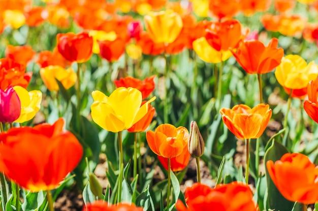 Tulpe. schöner strauß tulpen