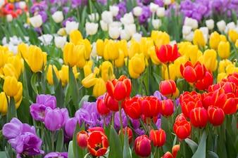 Tulpe. Schöner Blumenstrauß von Tulpen. bunte Tulpen. Tulpen im Frühling