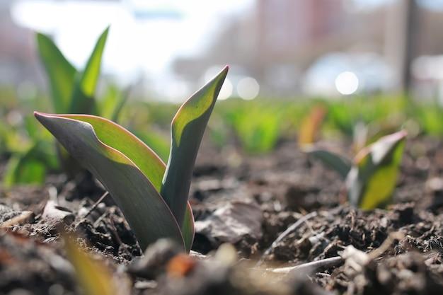 Tulpen auf dem blumenbeet sprießen